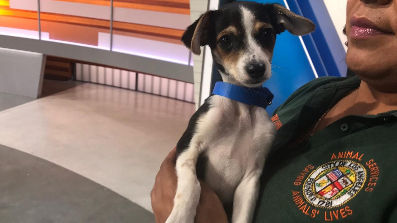 Our ABC7 Pet of the Week on Tuesday, April 4, is Petey, a 3-month-old Chihuahua mix.