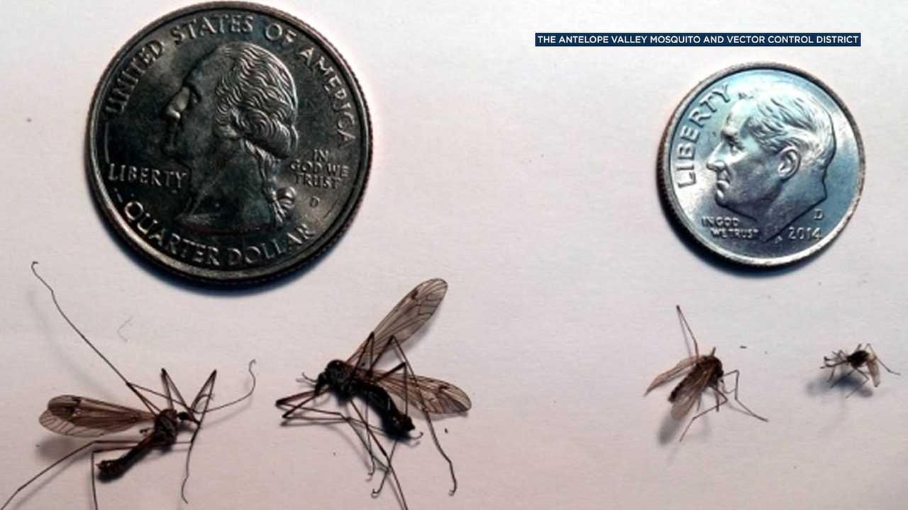 Have you seen more of those giant mosquitoes buzzing around lately? Officials say the big insects are on the rise - but theyre not mosquitoes.