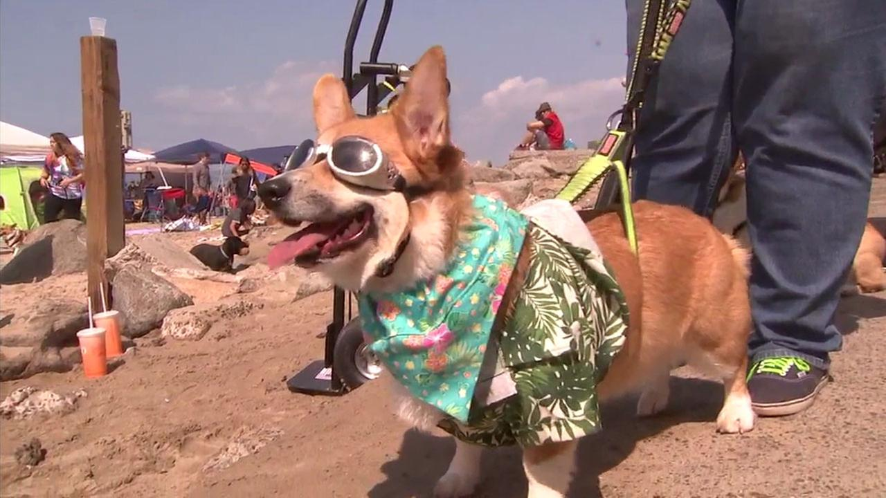 A corgi in costume is shown in costume during a Corgi Beach Day event in Huntington Beach on Saturday, April 8, 2017.