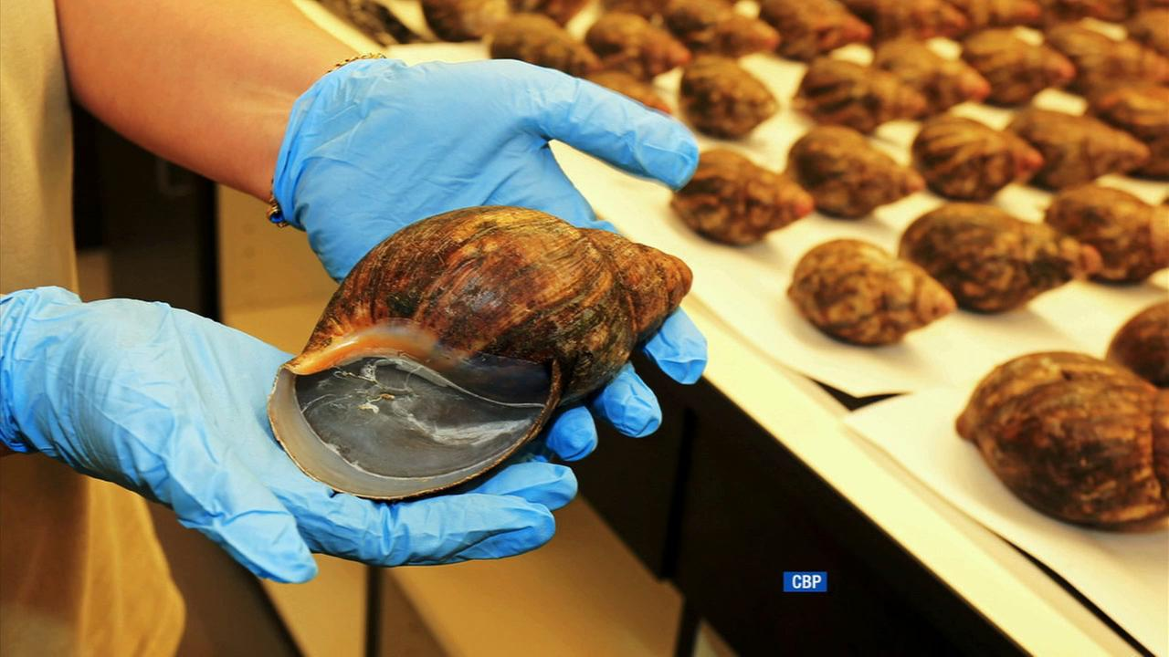 Sixty-seven giant African snails were seized at Los Angeles International Airport on July 1, 2014.