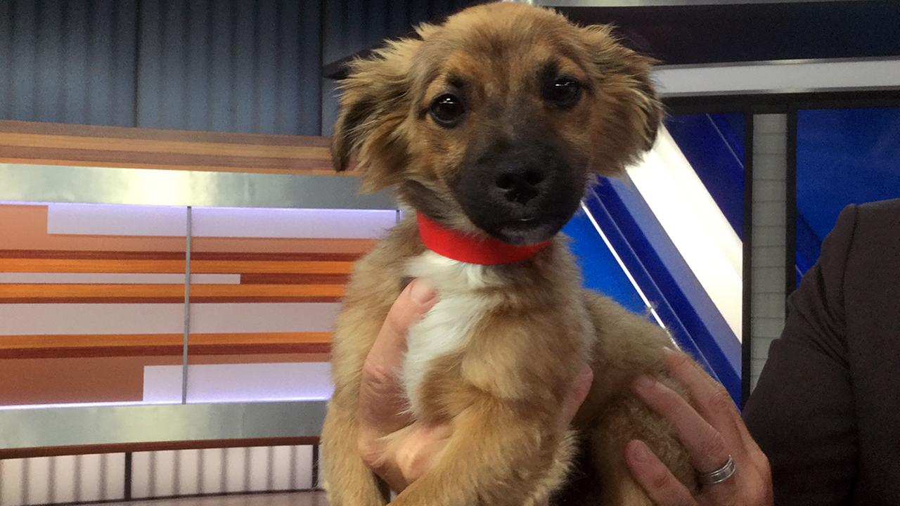 Our ABC7 Pet of the Week on Tuesday, April 18, is Miles, a 3-month-old Papillon mix. Please give him a good home!