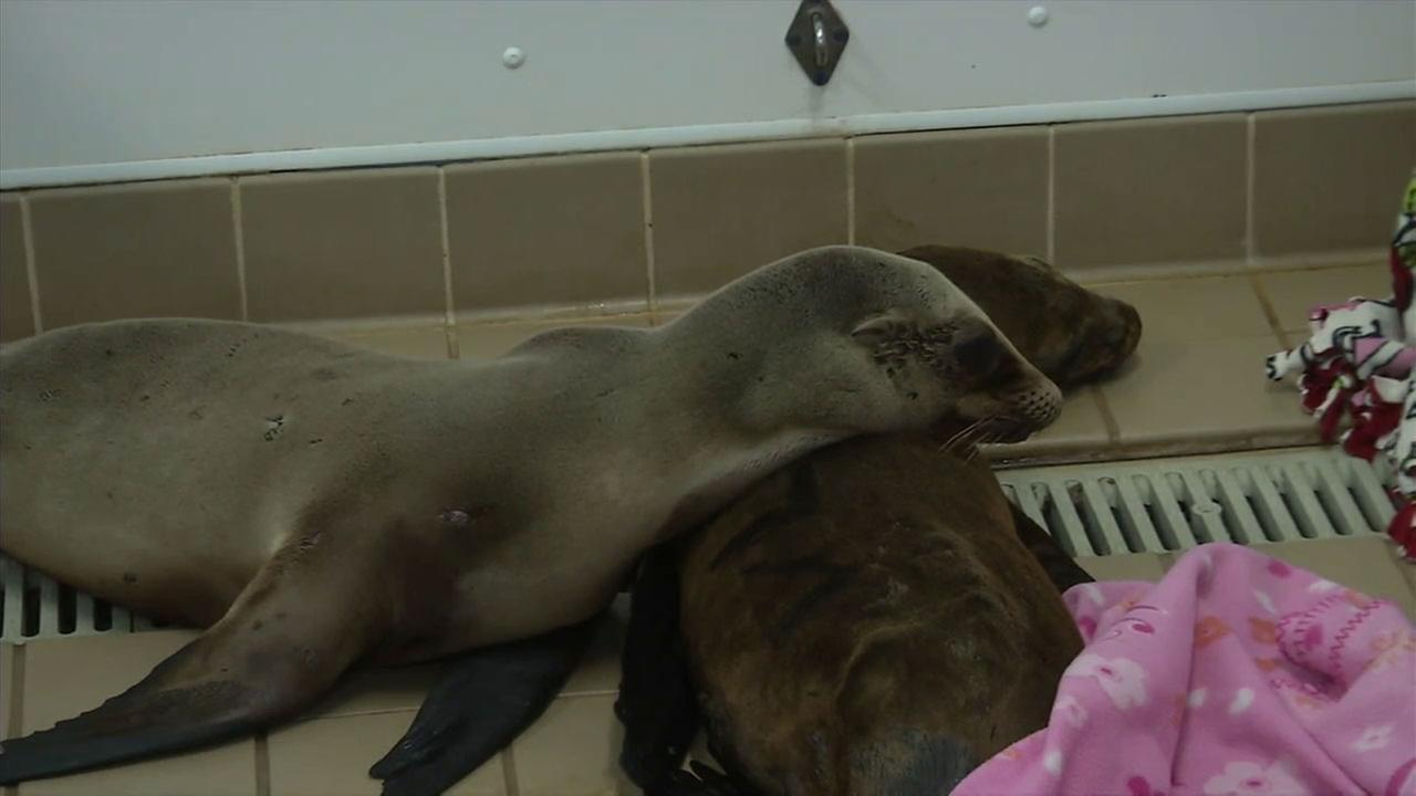The Pacific Marine Mammal Center in Laguna Beach is treating pregnant sea lions who have become sick and lethargic from ingesting a toxic algae in fish.