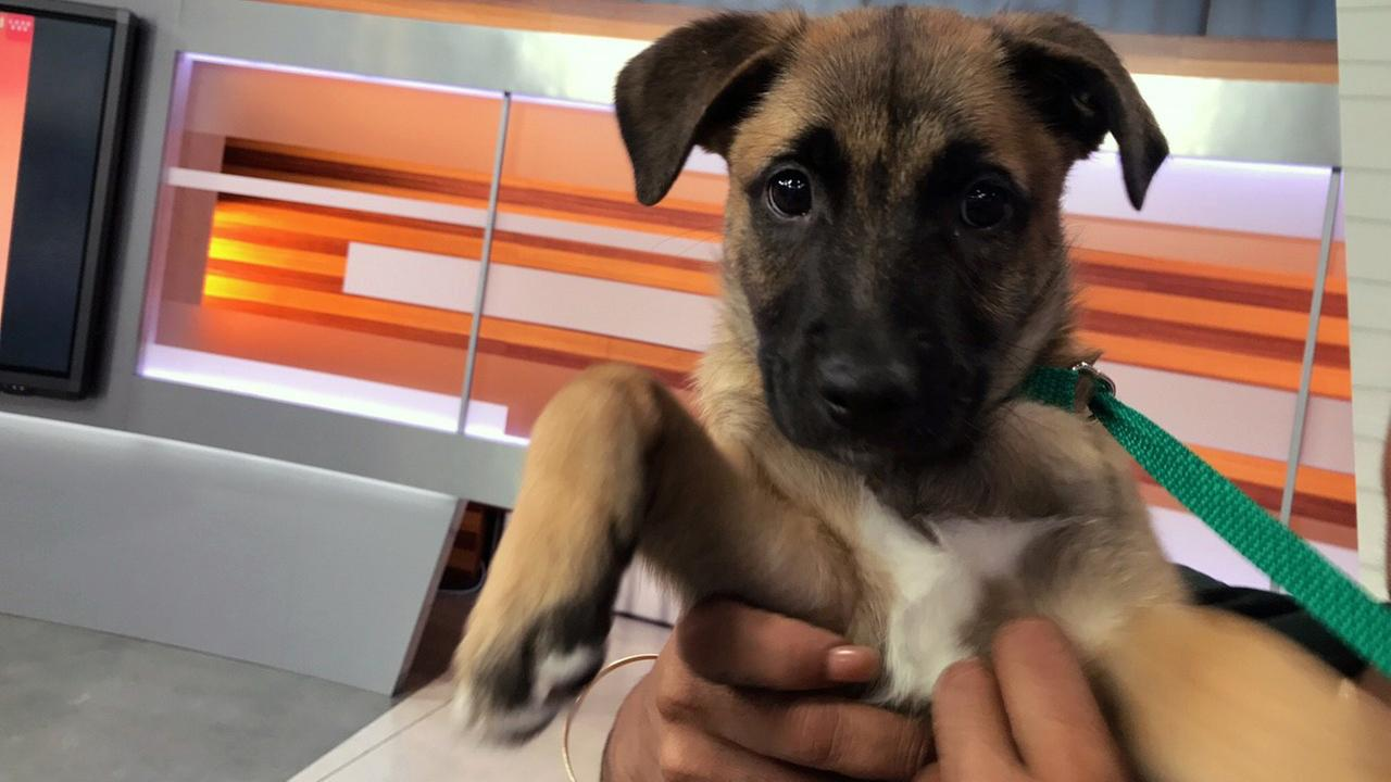 Our ABC7 Pet of the Week on Tuesday, May 9, is Penelope, a 3-month-old German shepherd mix. Please give her a good home!