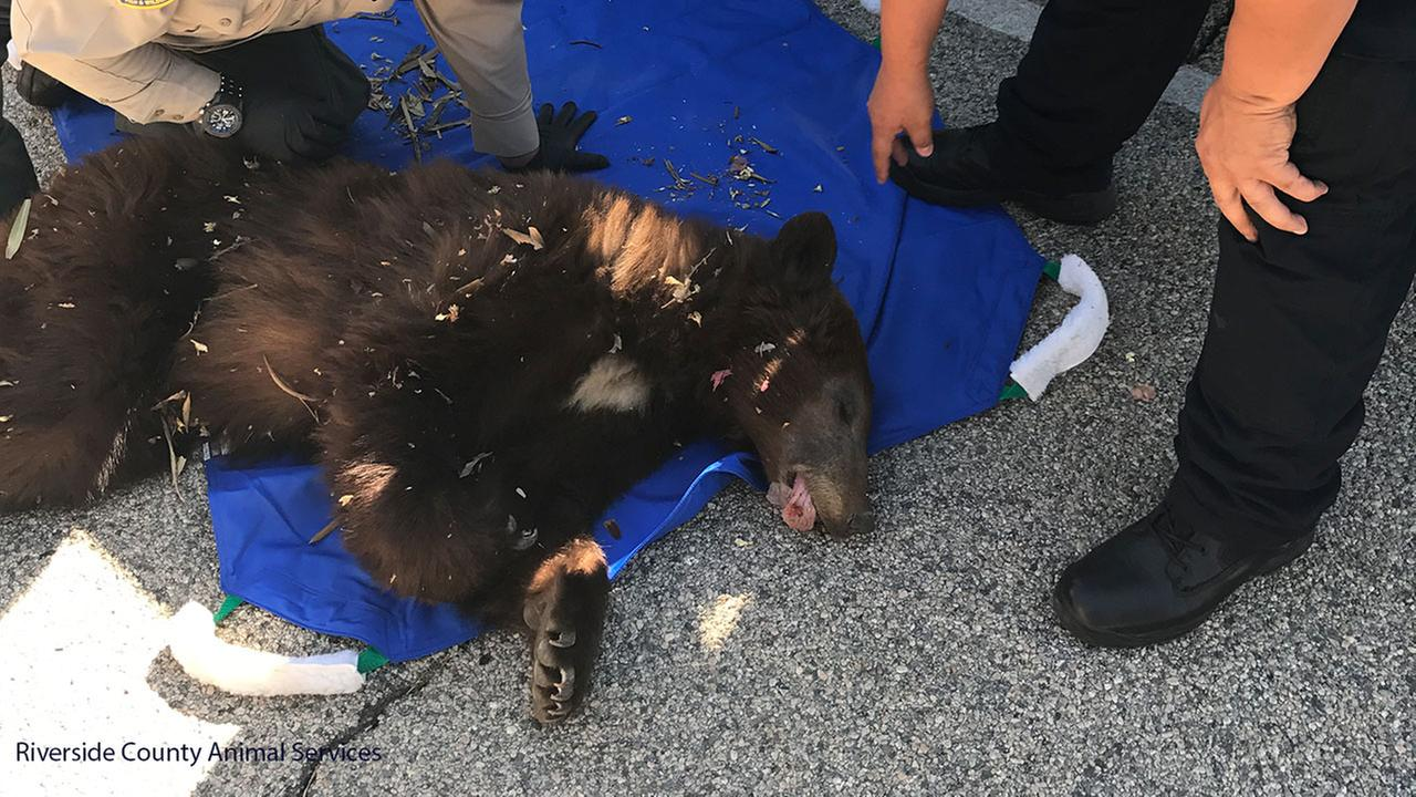 A young bear tranquilized after being spotted near a residential community in Indio on Sunday, May 14, 2017.