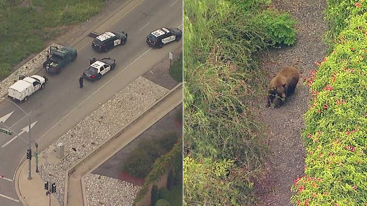 Wildlife officials try to corral bear struck by car on 210 Fwy in La Verne