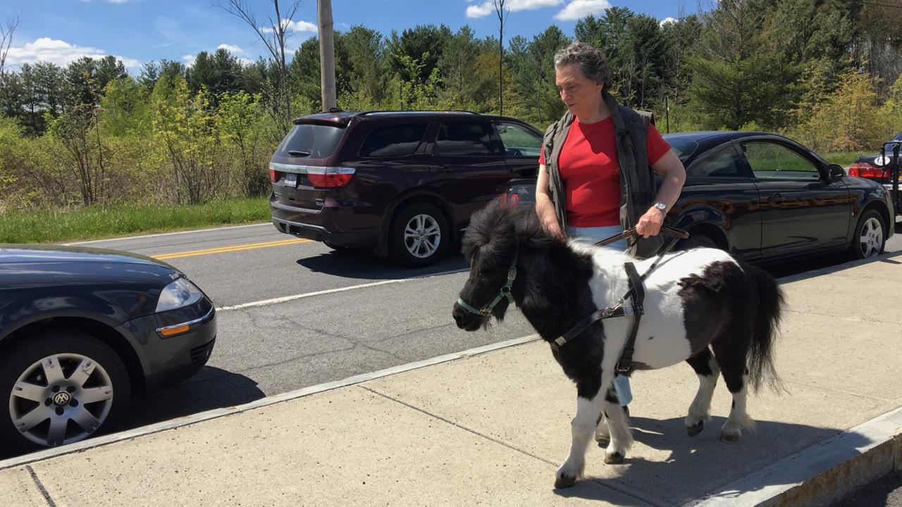 In this Friday, May 12, 2017, photo, Ann Edie, who has been blind since birth, walks with her miniature guide horse Panda on a street near her home in suburban Albany, N.Y.