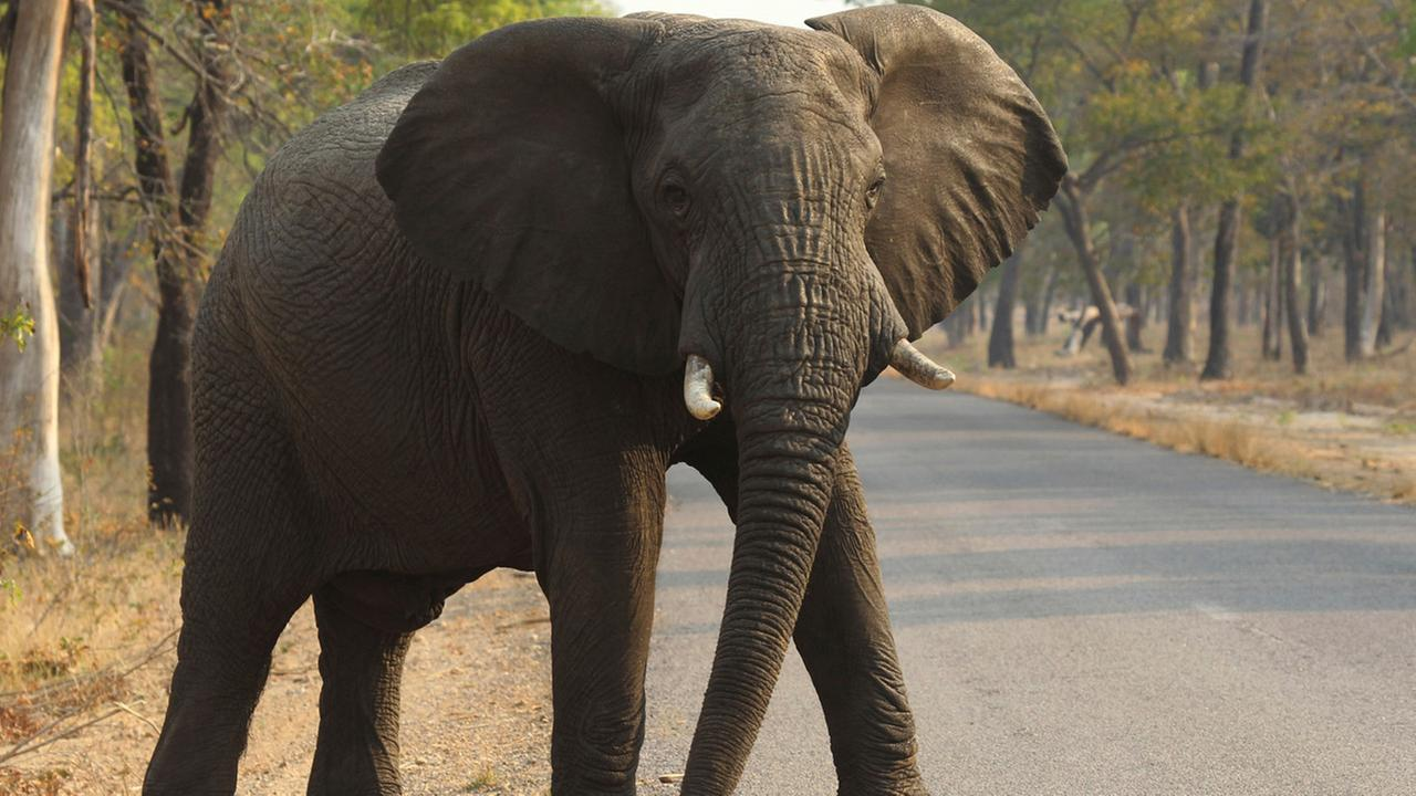 In this Thursday, Oct. 1, 2015, file photo an elephant crosses a road in the Hwange National Park, in Hwange, Zimbabwe.