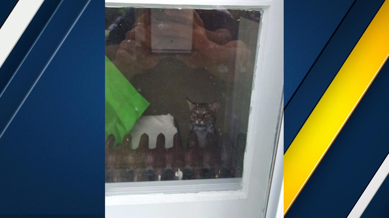 In this June 7, 2017 photo, a police officer takes a photo of a bobcat that got into a familys home in Washington Township, N.J.