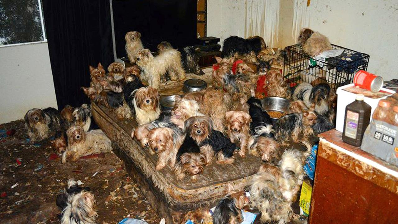 This Jan. 20, 2017, photo provided by the San Diego Humane Society shows the scene where over 170 Yorkshire terrier and Yorkie mix dogs were discovered in Poway, Calif.