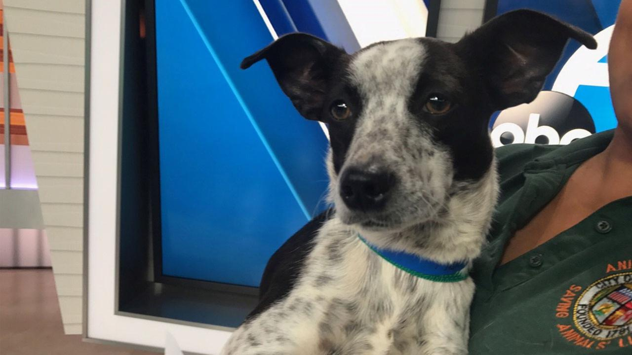 Our ABC7 Pet of the Week is an 8-month old Jack Russel Terrier mix named Benny. Please help give him a good home!