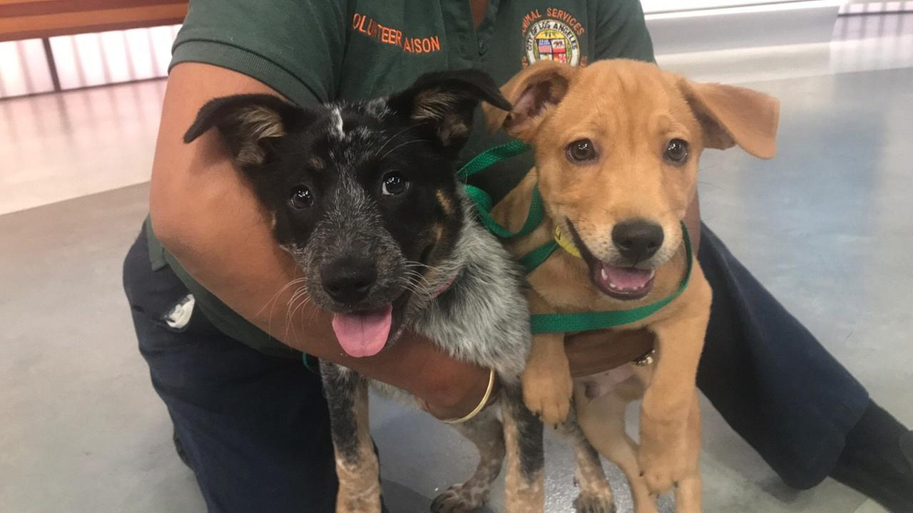 Our ABC7 Pet of the Week on Thursday, June 20, is Junior, a 3-month-old Labrador retriever and Samantha, a 3-month old Australian cattle dog. Help give them a good home!