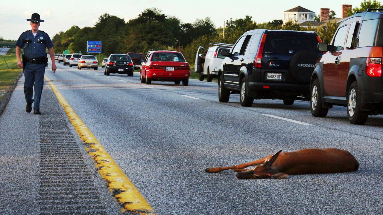 In this June 11, 2008, file photo, a wounded deer lies in the road after being hit by a car on the northbound lane of Interstate 295 near Freeport, Maine.