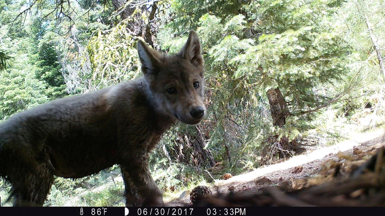 This June 30, 2017, remote camera image released by the U.S. Forest Service shows a pup born this year in the wilds of Lassen National Forest in Northern California.
