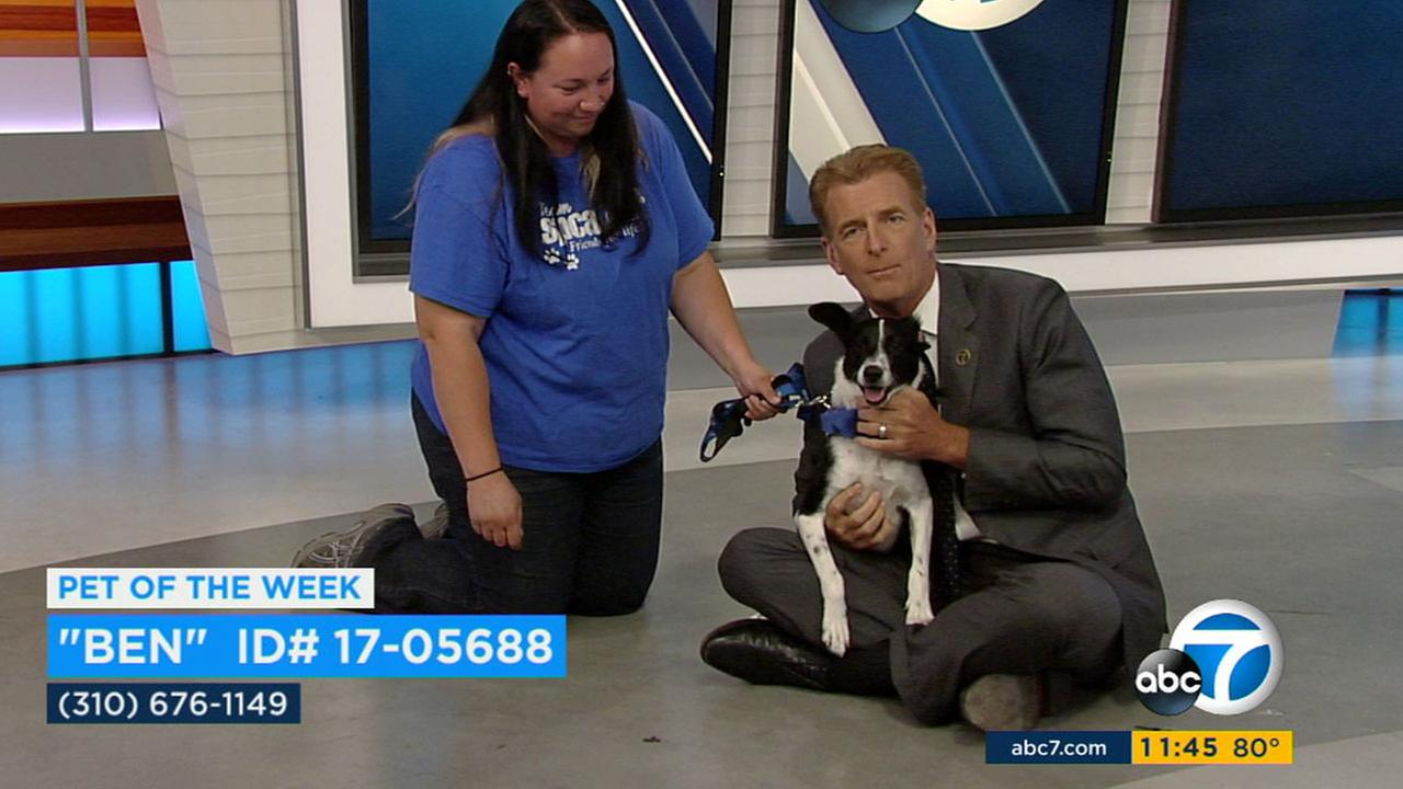 Our ABC7 Pet of the Week is a Terrier mix named Ben. Please give him a good home!