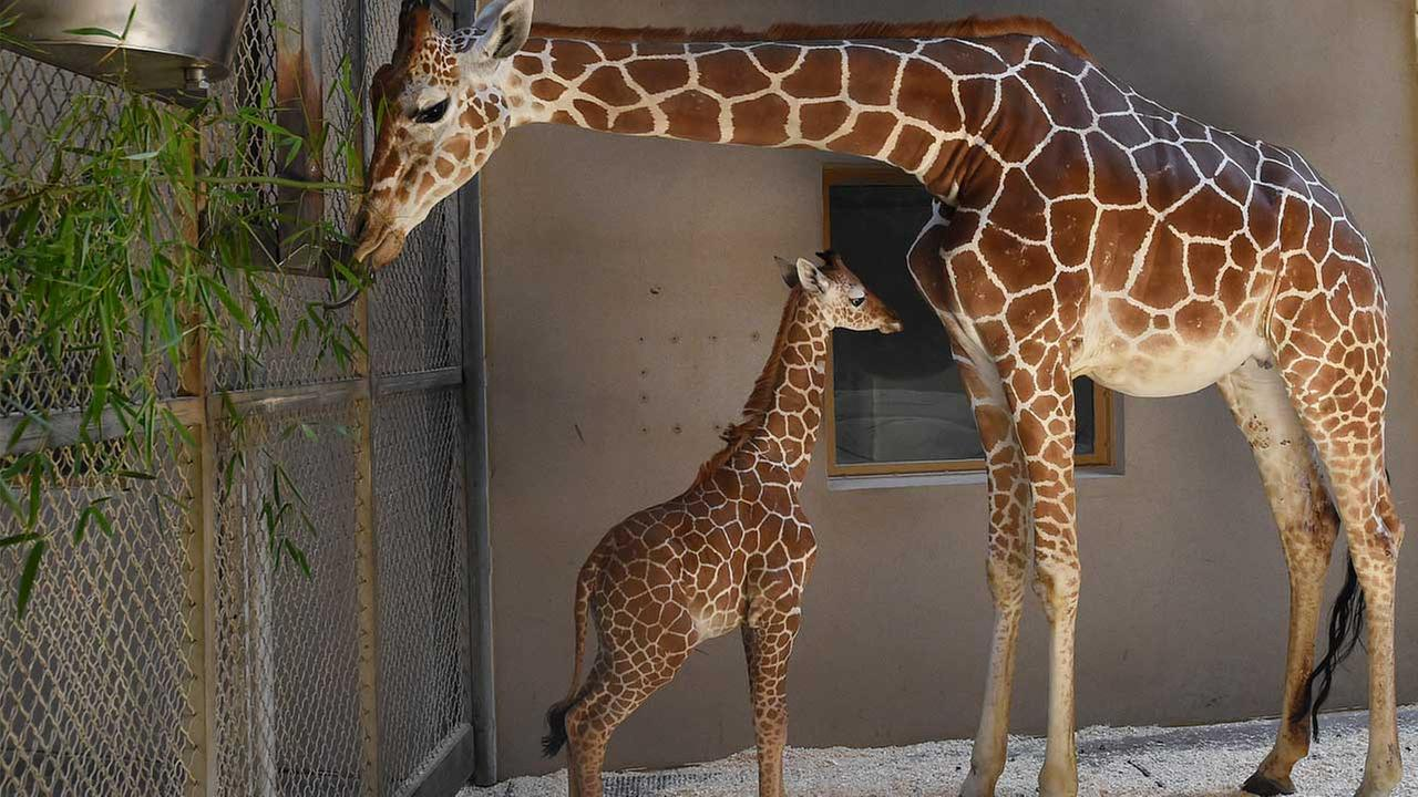 This June 28, 2017, file photo, provided by The Maryland Zoo shows a baby giraffe, Julius, and his mother, Kesi, at the zoo in Baltimore.