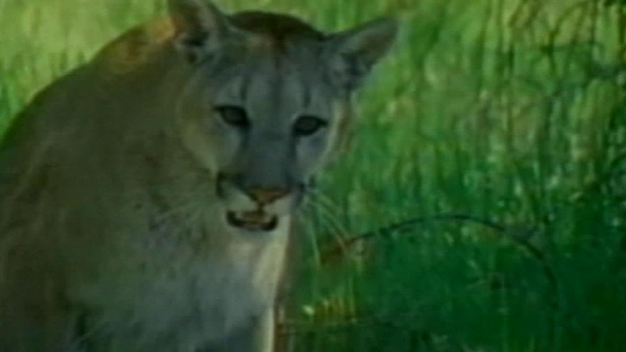 A mountain lion is seen in this undated file photo.