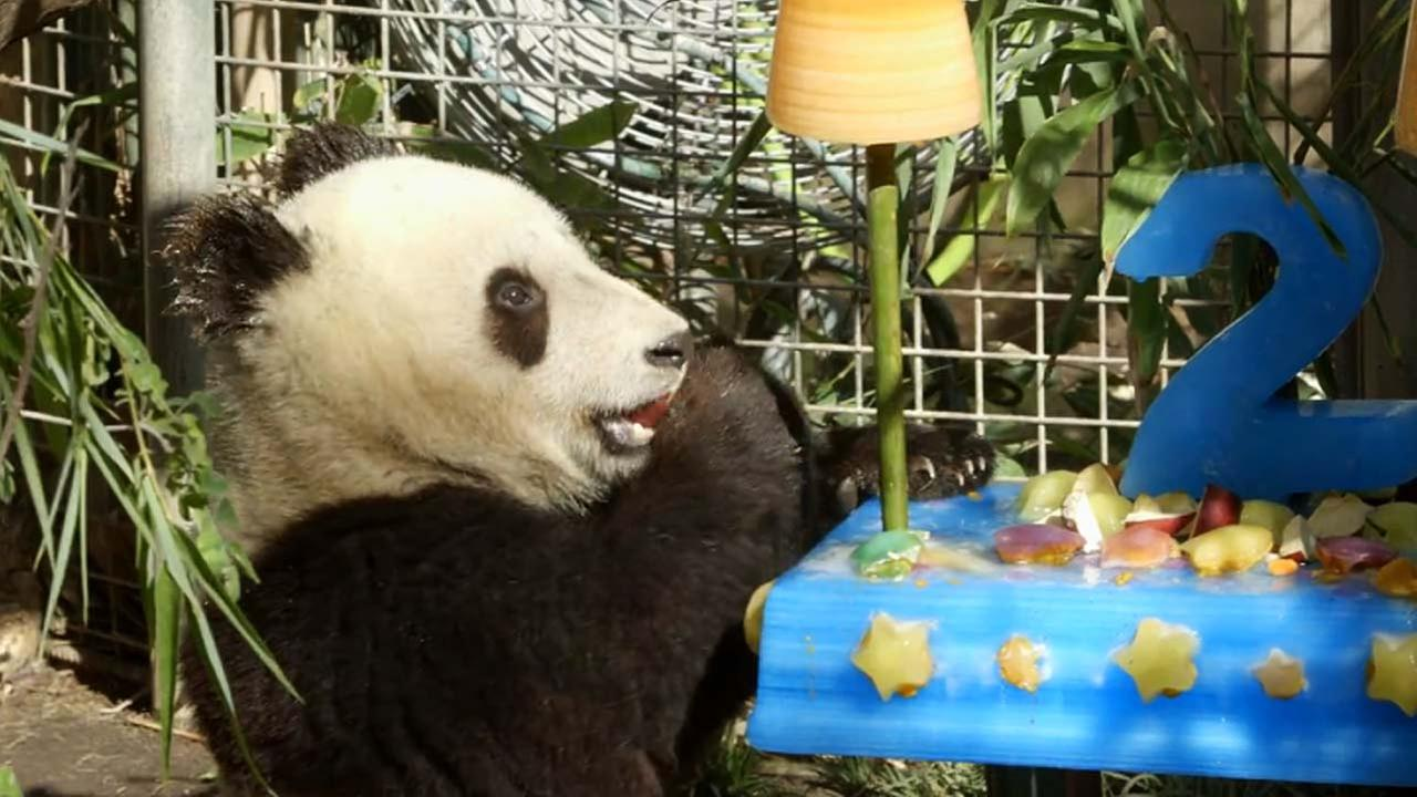Xiao Liwu  turned 2 on Tuesday, July 29, 2014, and celebrated with a special ice cake at the San Diego Zoo.