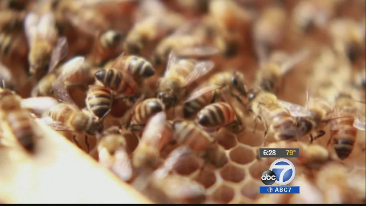 Bee hive rustlers are at work in Riverside County, stealing valuable hives. Many suspect fellow beekeepers are behind the thefts.