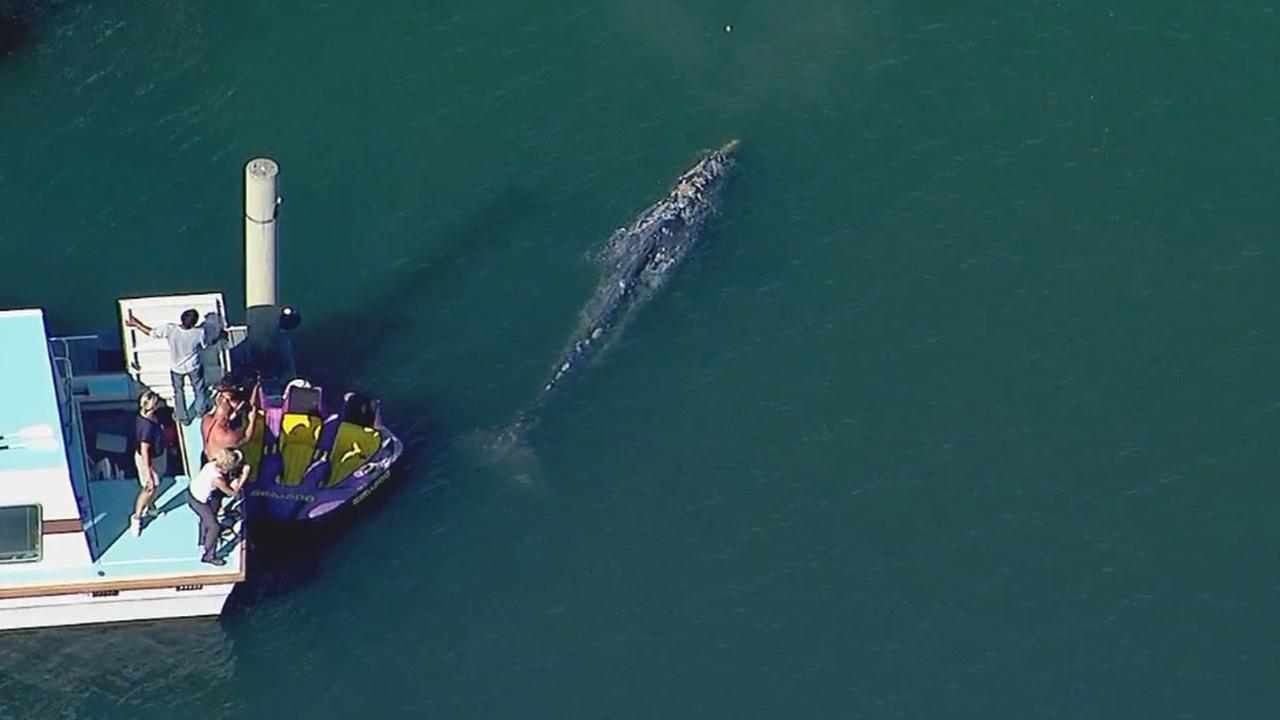 A juvenile gray whale was spotted swimming in the shallows off Belmont Shore in Long Beach Monday.