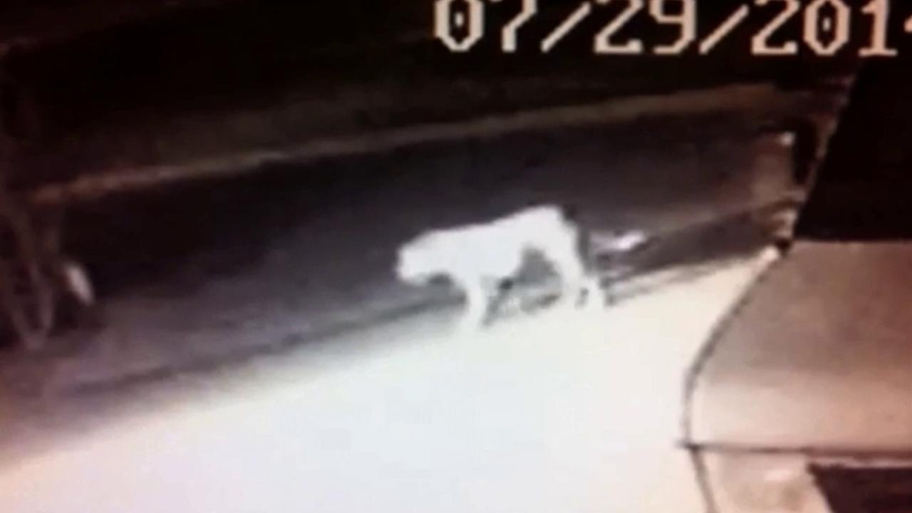 A mysterious animal that resembles a lion is shown in this screen grab of surveillance video taken in Norwalk.