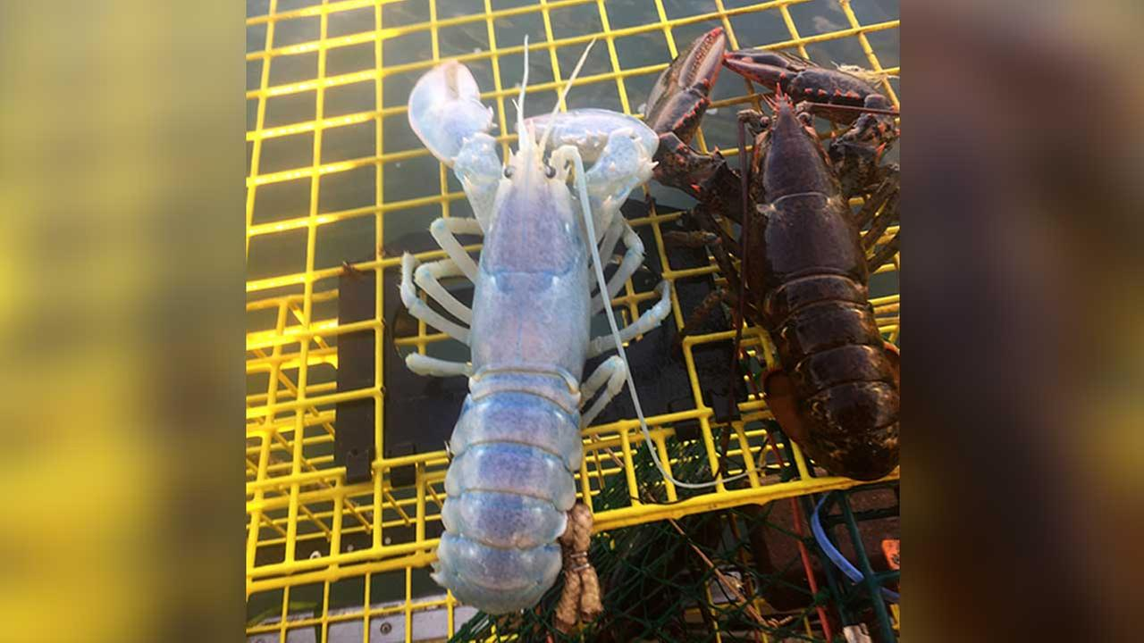 An Aug. 24, 2017 photo shows a lobster with a a translucent shell, caught by Maine lobsterman Alex Todd off the coast of Maine, next to a regular lobster.