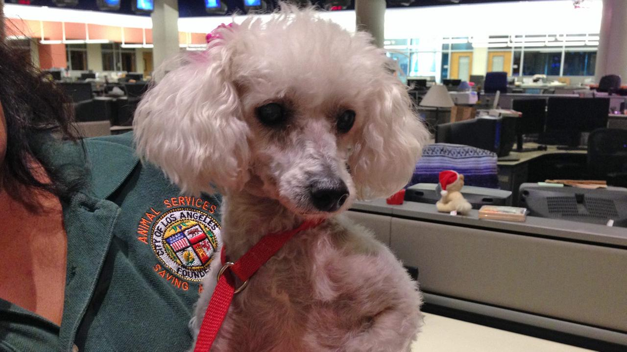 Our Pet of the Week on Tuesday is an 8-year-old female poodle named Daisy. Please give her a good home!