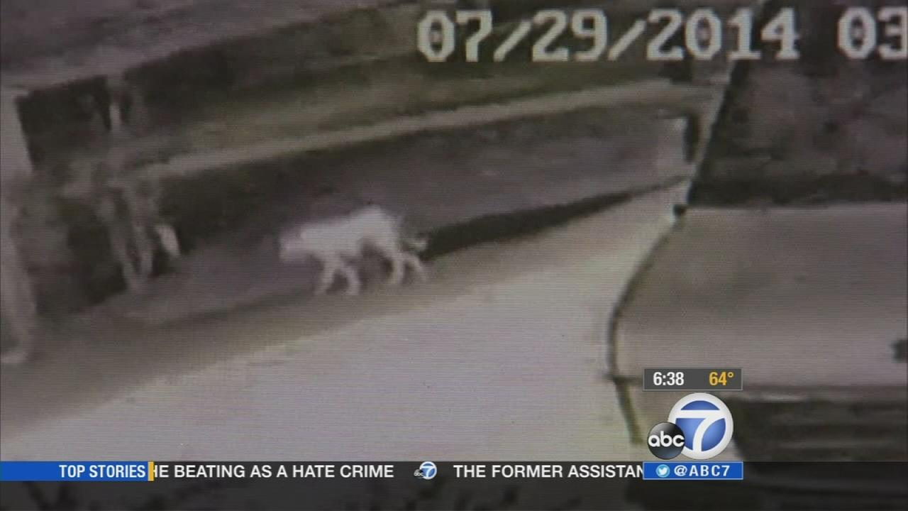 City officials are getting a better and clearer look at video of the mysterious animal that was seen roaming the streets of Norwalk.
