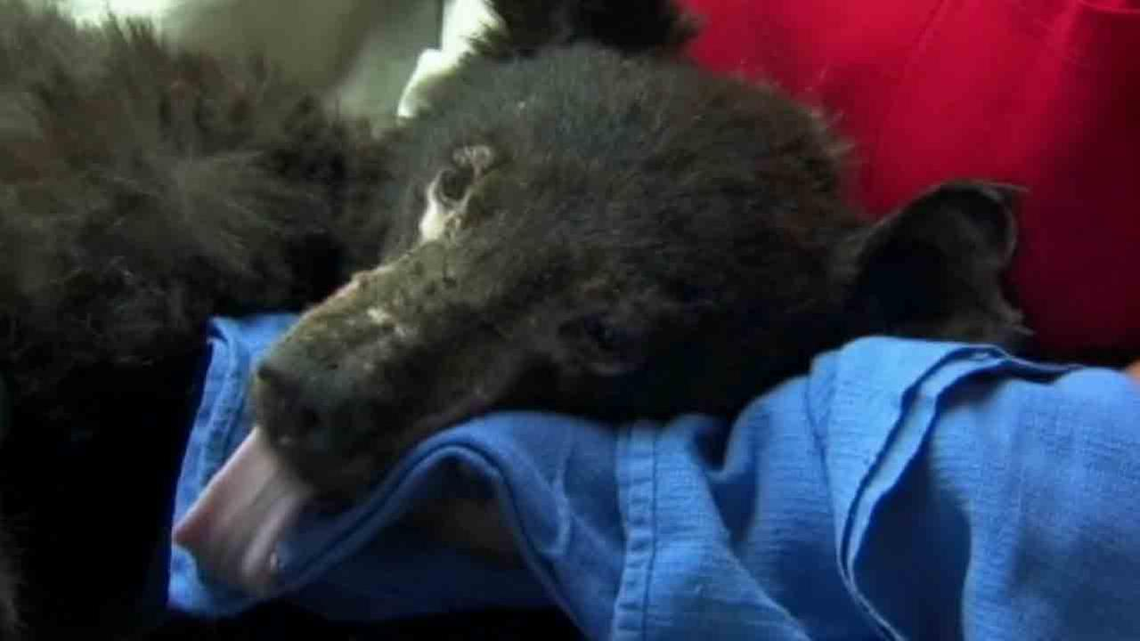 A black cub nicknamed Cinder is recovering at Lake Tahoe Wildlife Center after burning all four of his paws.