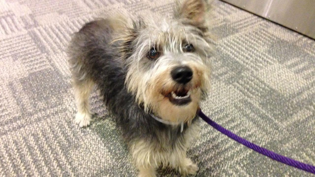 Our Pet of the Week on Thursday is a 2-year-old female Terrier mix named Snickers. Please give her a good home!
