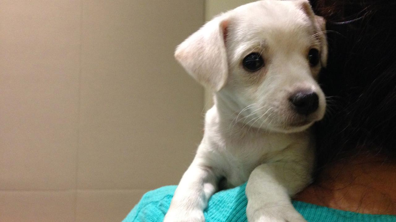 Our Pet of the Week on Tuesday is an adorable two-month-old male Chihuahua puppy named Shorty. Please give him a good home!