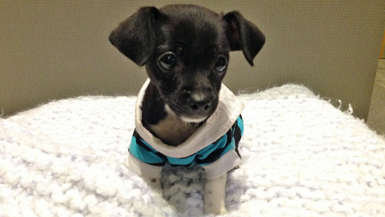 Our Pet of the Week on Tuesday is an adorable nine-week-old male Chihuahua puppy named Terry. Please give him a good home!