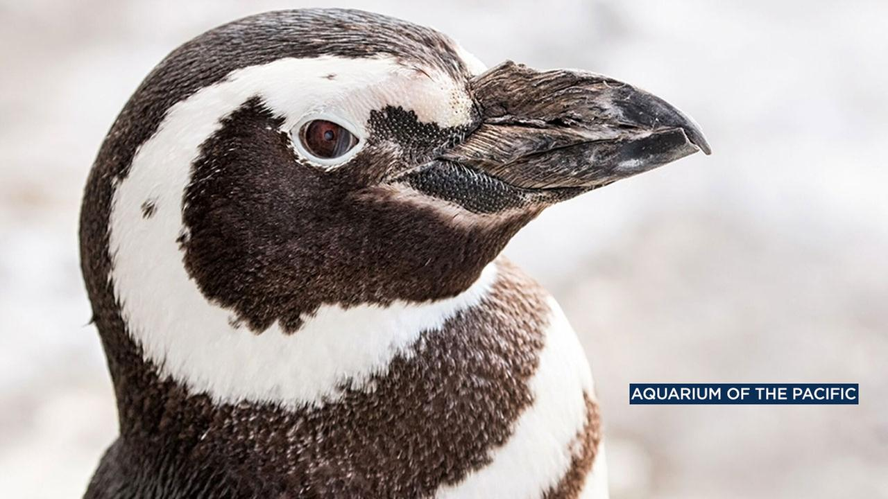 Henry, the oldest penguin at the Aquarium of the Pacific in Long Beach, has died at age 24.