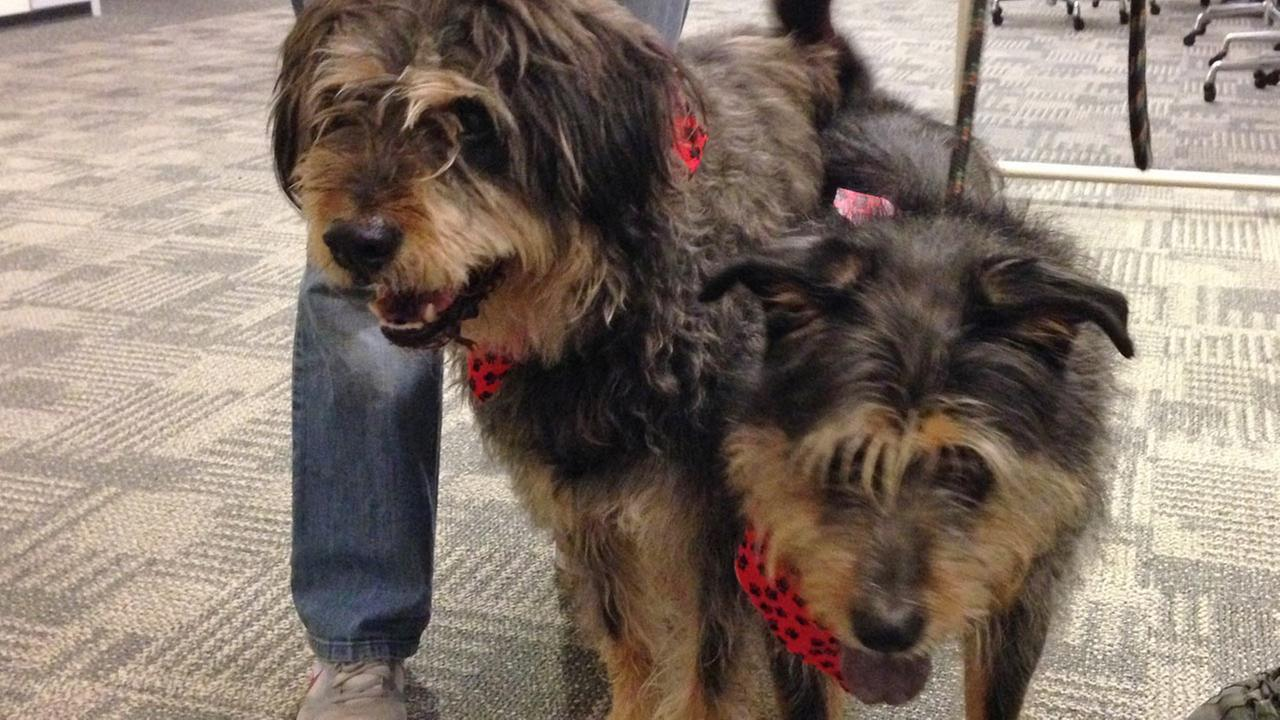 Our Pets of the Week on Thursday are two 9-year-old male Otterhounds named Taz and Bugzy. Please give them a good home!