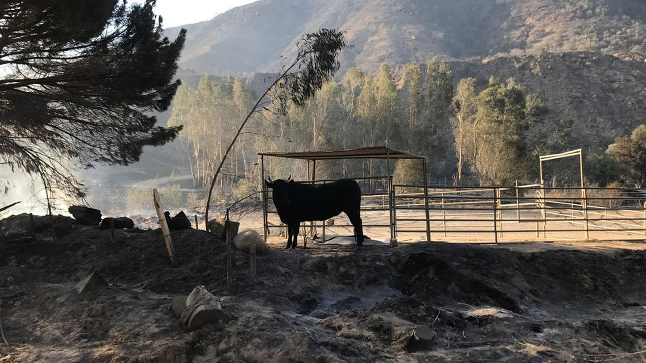 A farm animal stands in the middle of a ravaged animal ranch in Sylmar on Friday, Dec. 8, 2017.