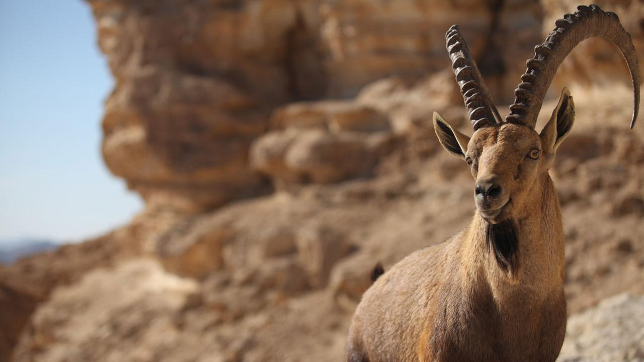 A male Nubian ibex is shown in a file photo.