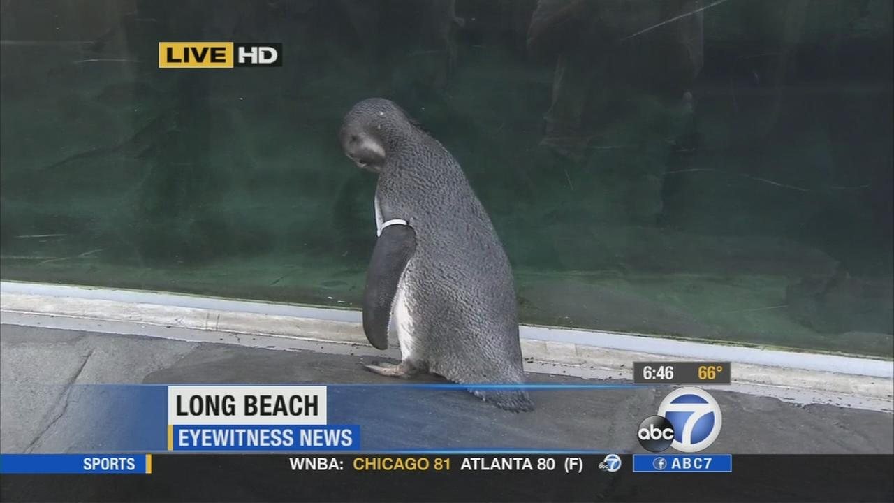 Four penguin chicks made their debut at the Aquarium of the Pacific in Long Beach on Wednesday.