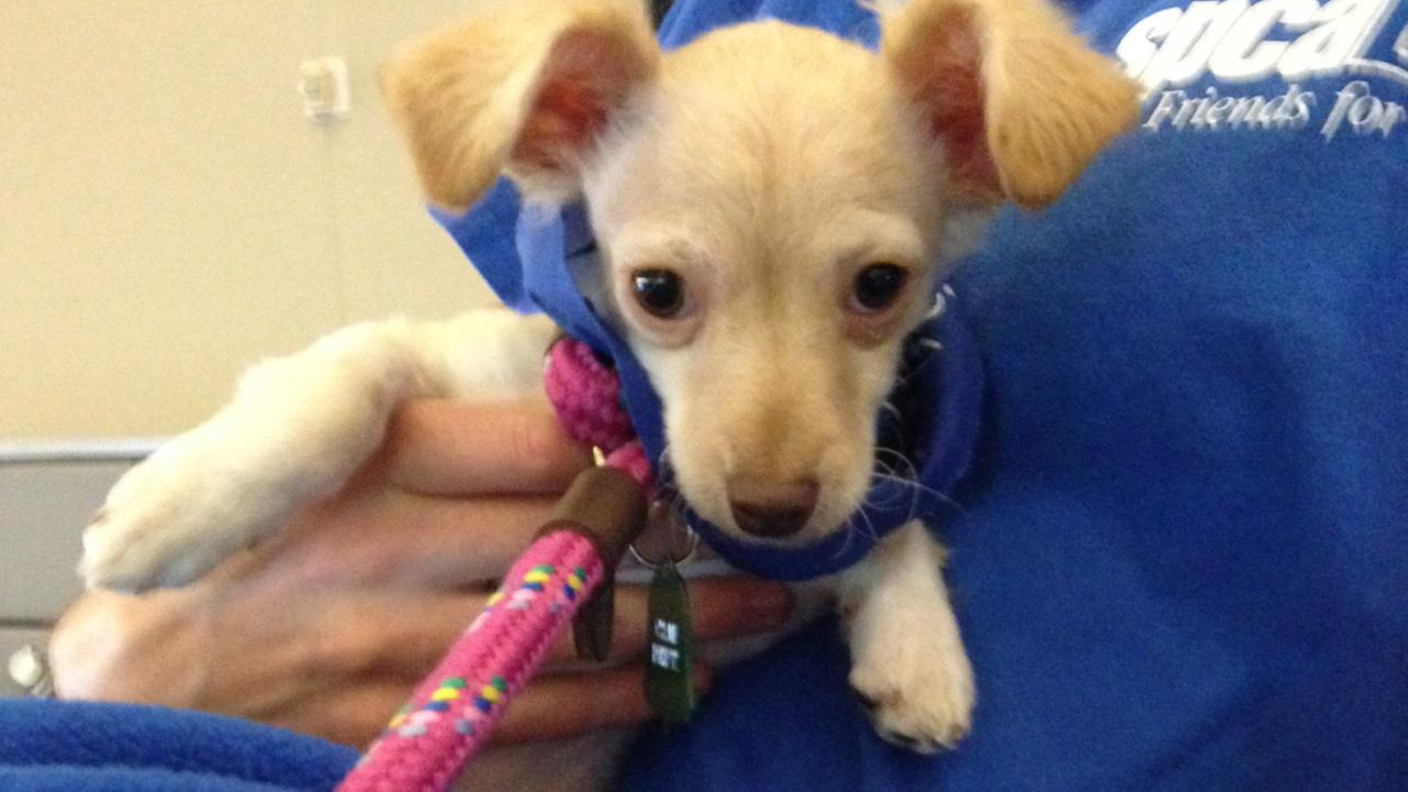 Our Pet of the Week on Thursday is a Chihuahua mix named Blue. Please give her a good home!
