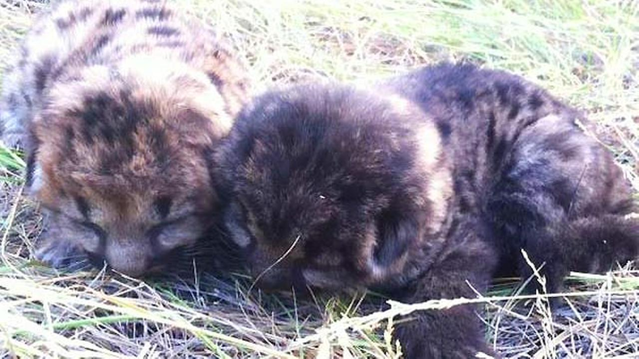 Firefighters rescued two mountain lion cubs caught in a wildfire in Montana on Friday, August 29, 2014.