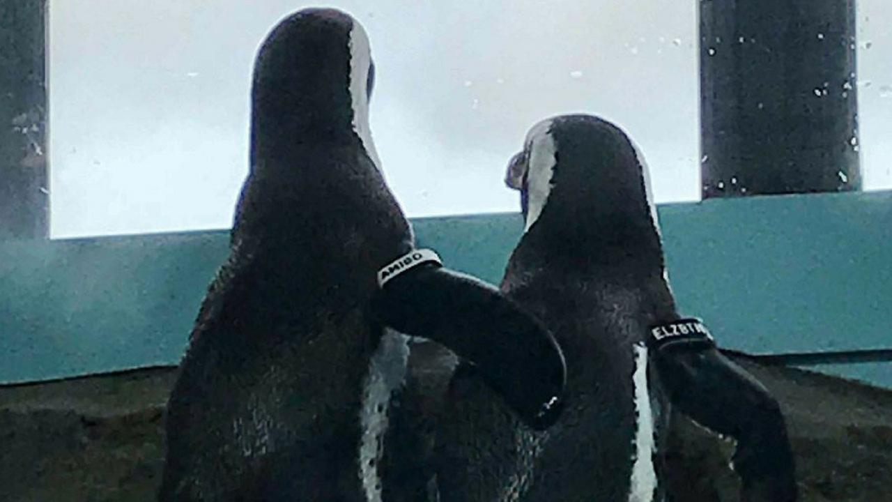 An adorable penguin couple was spotted snuggling on a birthday date at Monterey Bay Aquarium.