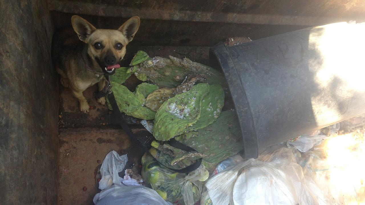 A 3-year-old Chihuahua mix was found in a dumpster at a mobile home park in Jurupa Valley on Saturday, Sept. 13, 2014.