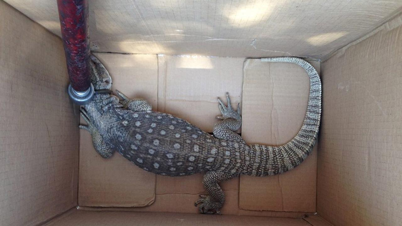 A large reptile was caught by Huntington Park police on Monday, Sept. 15, 2014.