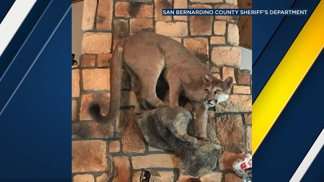 Deputies found a stuffed mountain lion carcass mounted above the fireplace of a home in Lake Arrowhead on Saturday, Feb. 17, 2018.