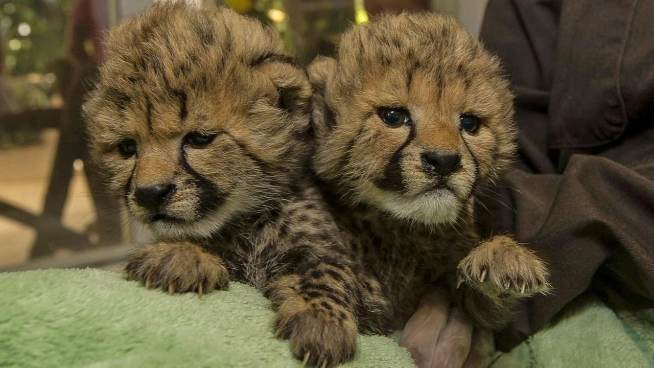 Two female cheetah cubs are seen at the San Diego Zoo in this September 2014 photo.