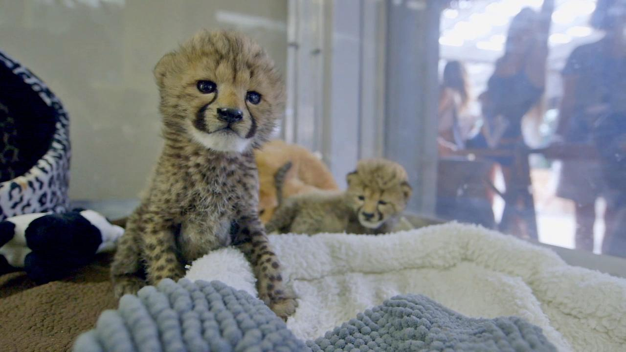 The San Diego Zoos newest female cheetah cubs are seen in this September 2014 photo.San Diego Zoo Safari Park