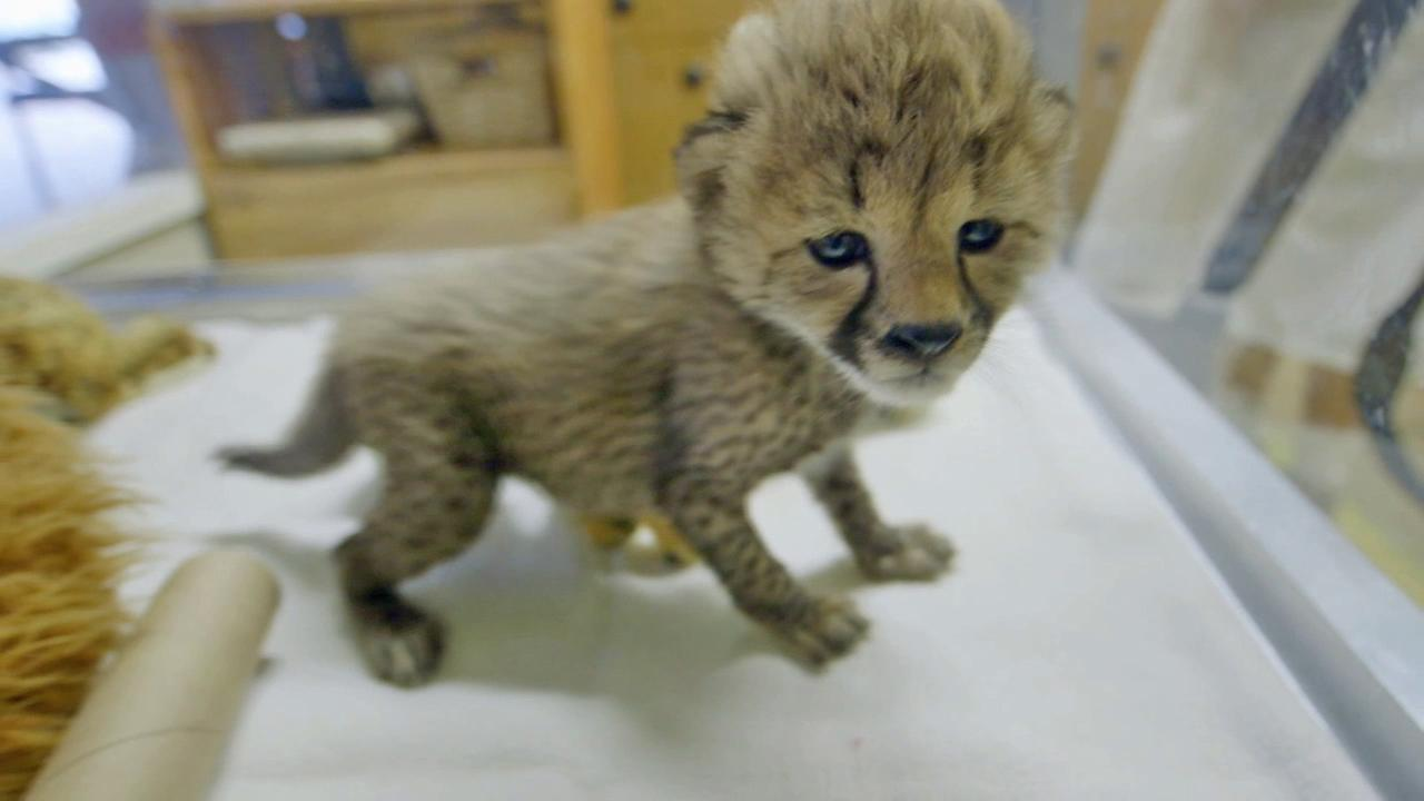 One of two new female cheetah cubs at the San Diego Zoo is seen in this September 2014 photo.San Diego Zoo Safari Park