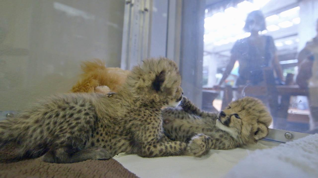 The San Diego Zoos newest female cheetah cubs play together in this September 2014 photo.