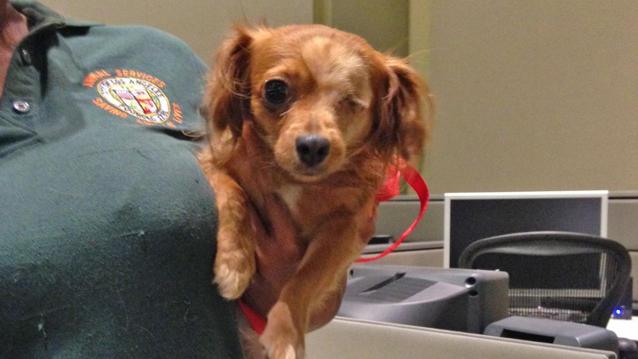 Our Pet of the Week on Tuesday, Sept. 23, is a 3-year-old long-haired Chihuahua named Piratita. Please give her a good home!