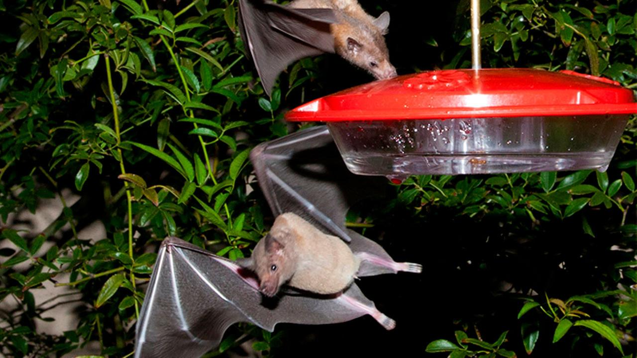Offiicials say a once-rare bat important to the pollination of plants used to produce tequila has made a comeback and is being removed from the federal endangered species list.