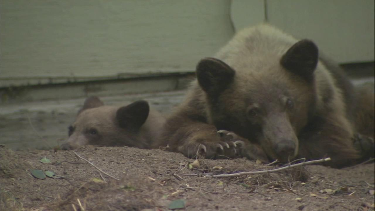 A mama bear and her cub are seen resting after roaming a Pasadena neighborhood on Thursday, Oct. 16, 2014.