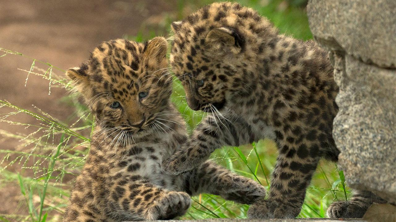 Two rare Amur leopard cubs are shown playing together in their habitat at the San Diego Zoo.